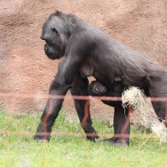 Zoo_Praha_Gorily_02