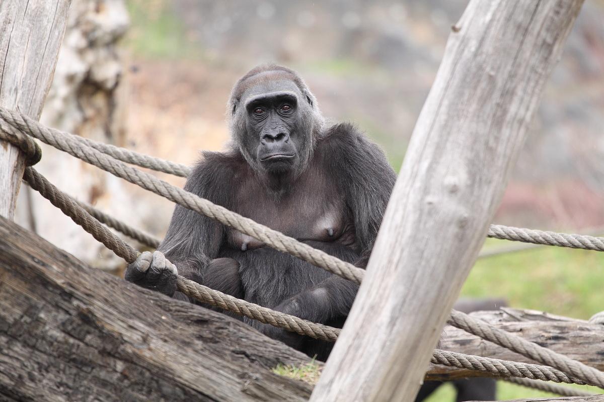 Zoo_Praha_Gorily_09