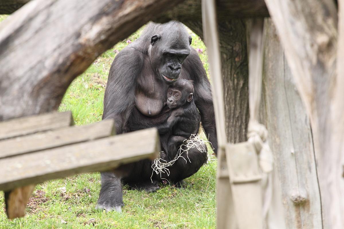 Zoo_Praha_Gorily_10