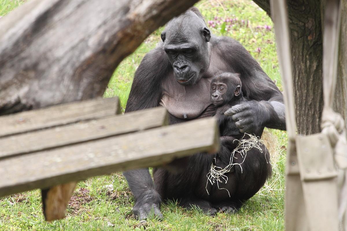 Zoo_Praha_Gorily_11