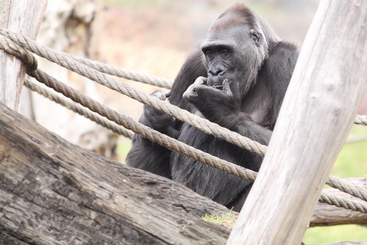Zoo_Praha_Gorily_13