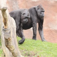 Zoo_Praha_Gorily_15