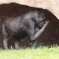 Zoo_Praha_Gorily_20
