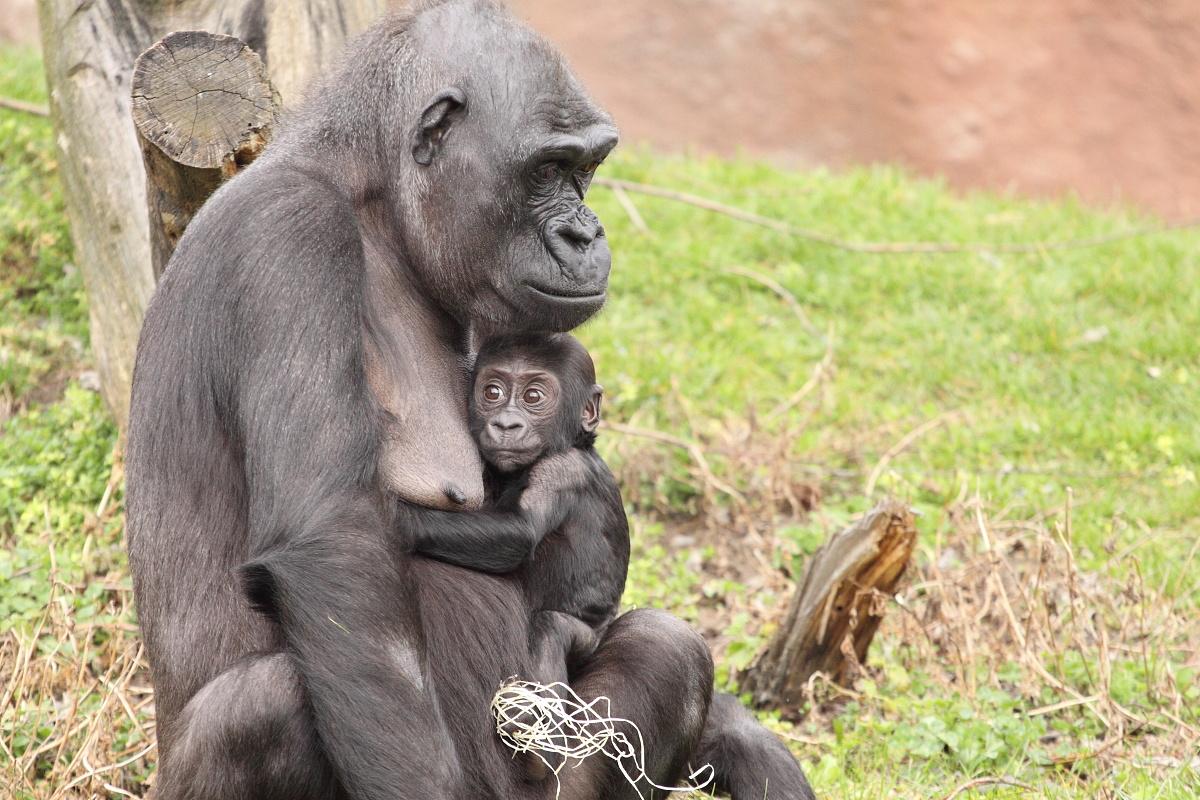 Zoo_Praha_Gorily_25