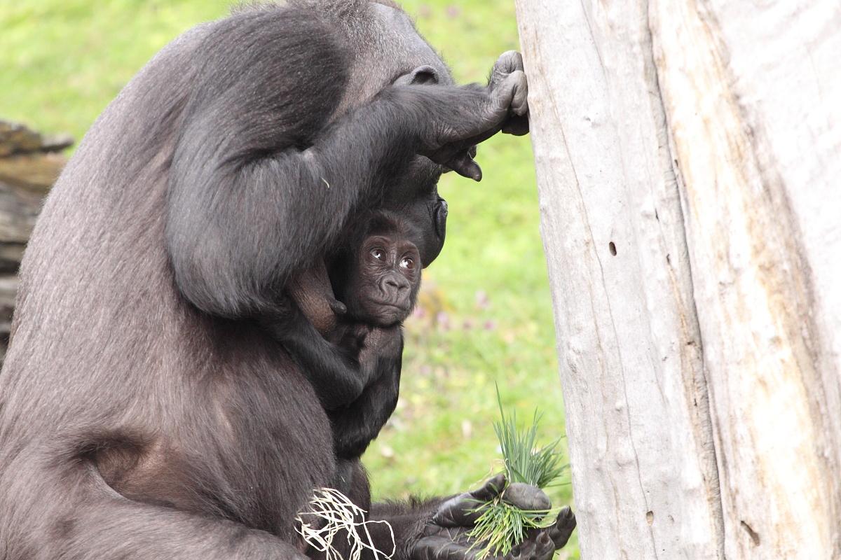 Zoo_Praha_Gorily_27