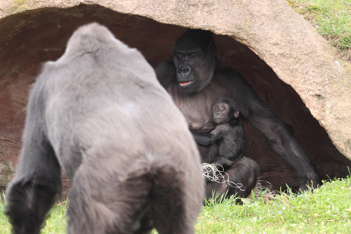 Zoo_Praha_Gorily_28