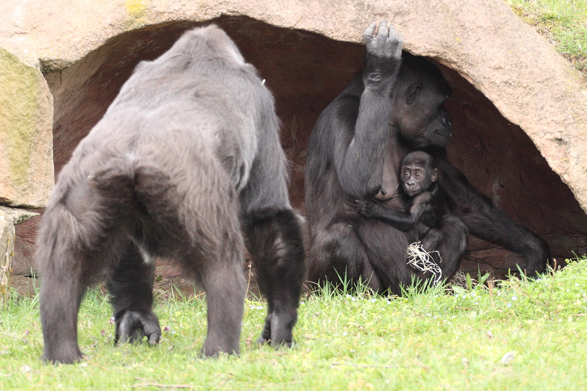 Zoo_Praha_Gorily_29