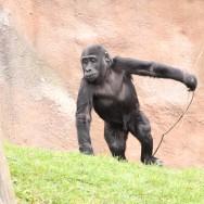 Zoo_Praha_Gorily_32