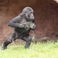 Zoo_Praha_Gorily_33
