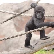 Zoo_Praha_Gorily_35