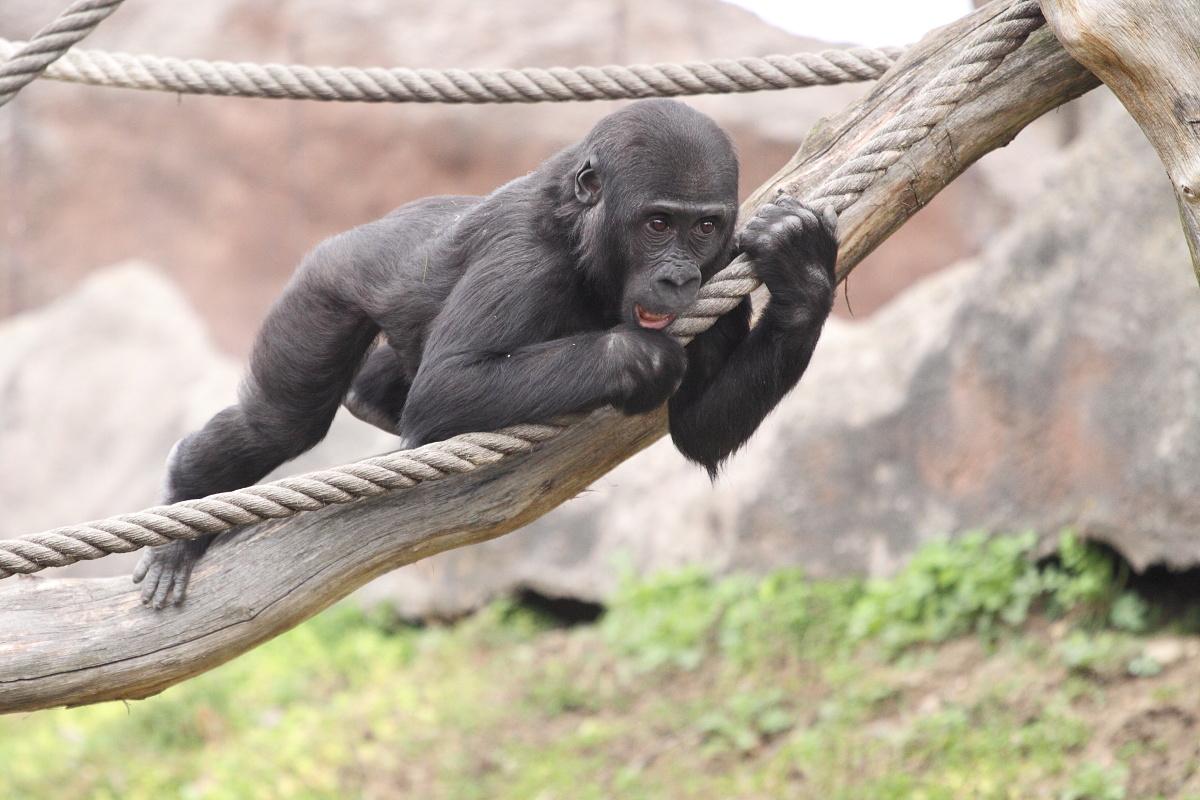 Zoo_Praha_Gorily_36