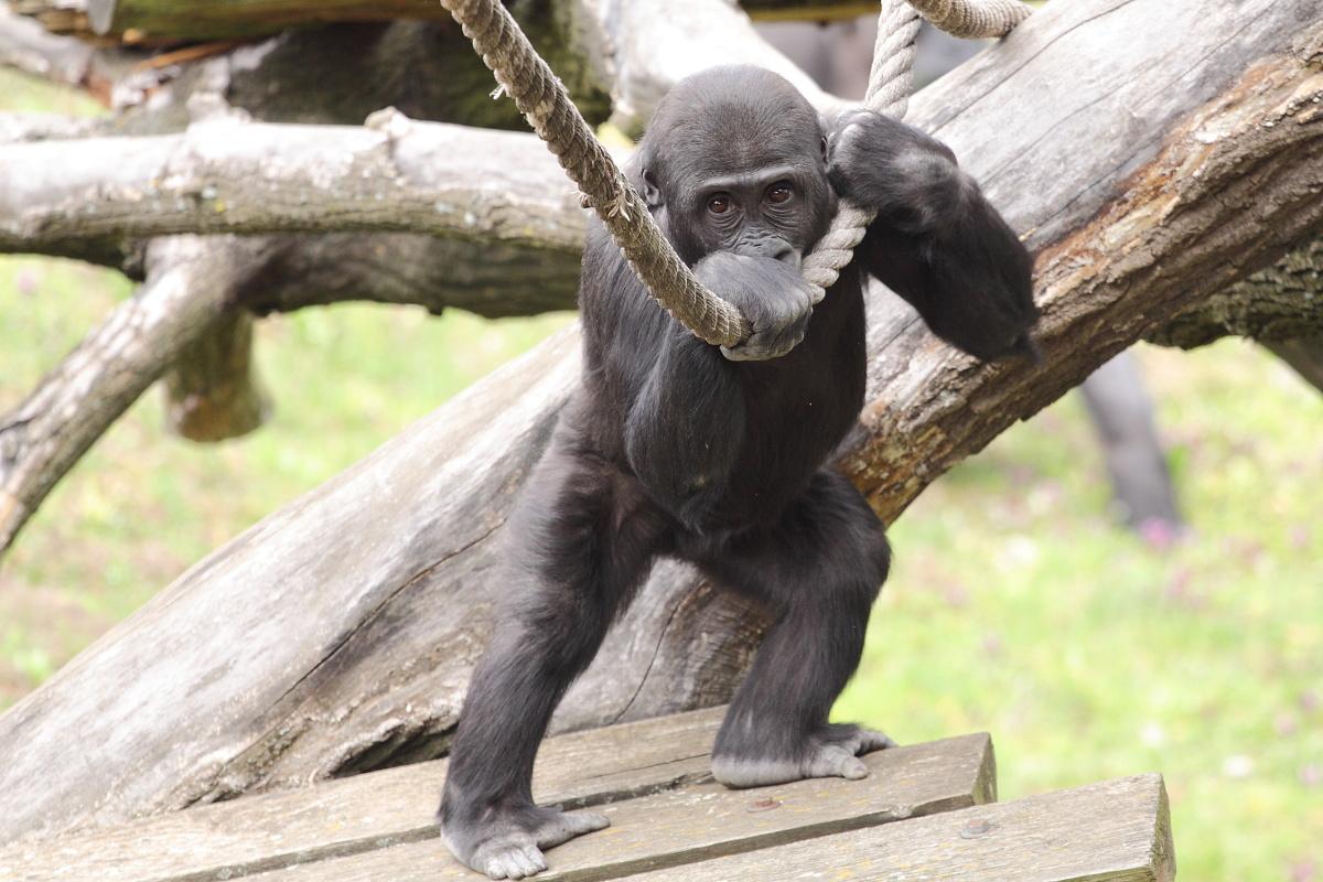 Zoo_Praha_Gorily_37