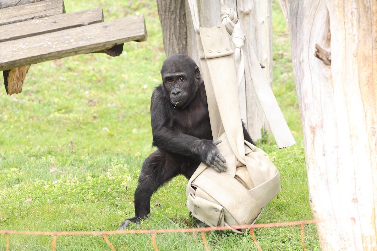 Zoo_Praha_Gorily_38