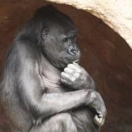 Zoo_Praha_Gorily_39