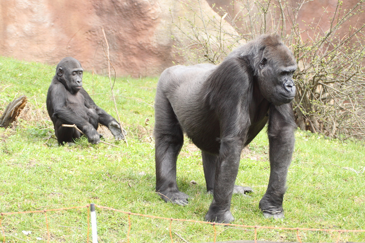 Zoo_Praha_Gorily_40
