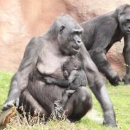 Zoo_Praha_Gorily_43