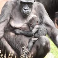 Zoo_Praha_Gorily_44