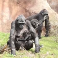 Zoo_Praha_Gorily_45