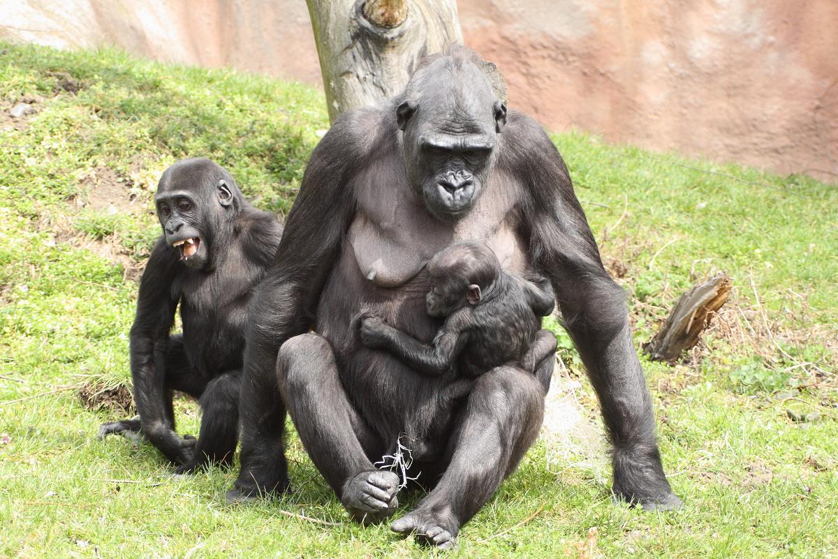 Zoo_Praha_Gorily_46