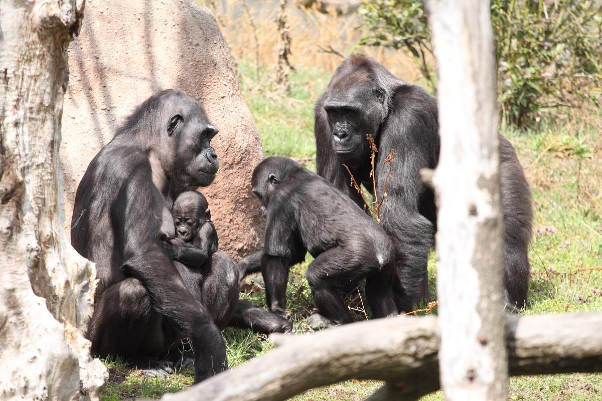 Zoo_Praha_Gorily_50